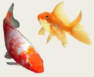 Koi Goldfish