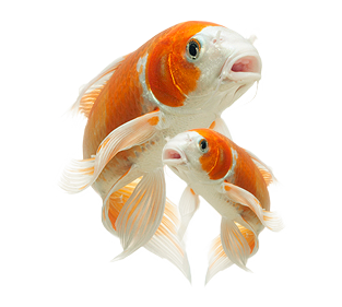 koi-smart-the-smart-place-for-pond-supplies-clipart-9ygRXz